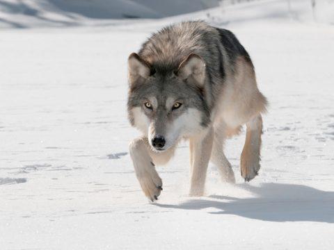 Wolfin wolf